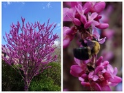 19th Mar 2020 - Redbud and Assistant