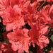The colors of azaleas have been exceptionally bright and vivid this year.