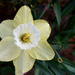 Lori's daffodils