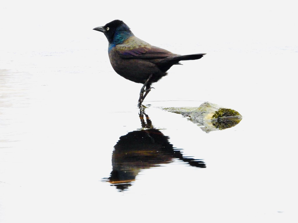 Grackle reflection  by amyk