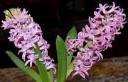 14th Mar 2020 - Hyacinth in Bloom