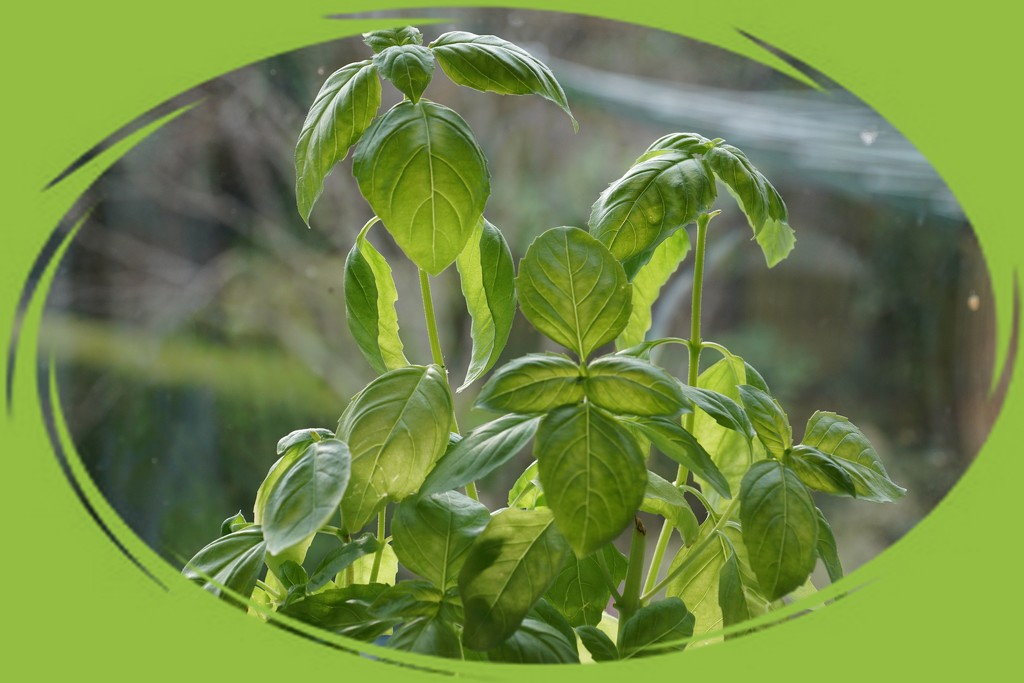 a pot of basil by quietpurplehaze