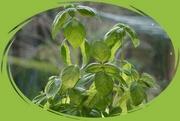 19th Mar 2020 - a pot of basil