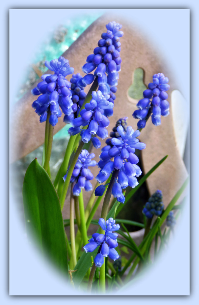 Grape Hyacinth  ( Muscari ) by beryl