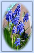 20th Mar 2020 - Grape Hyacinth  ( Muscari )