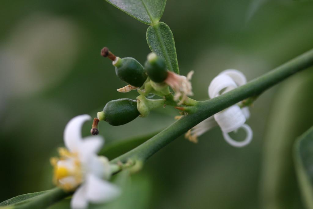 Lime by ingrid01