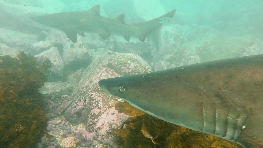 Grey nurse sharks by julianneovie