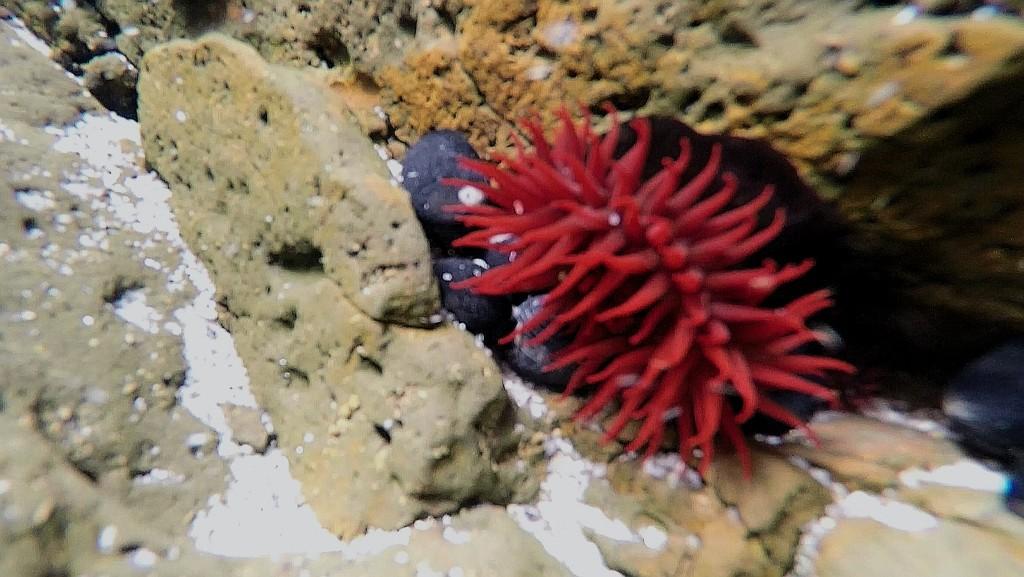 Waratah anemone by julianneovie