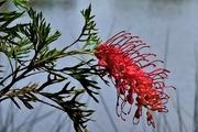 20th Mar 2020 -   One Grevillea Flower ~