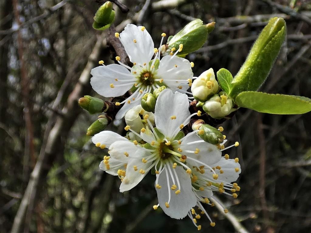 Wild plum by julienne1