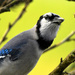 Blue jay Perched by My Window by kareenking