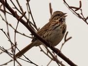 19th Mar 2020 - song sparrow