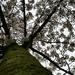 Blossumtree