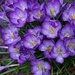 Raindrops on crocus by tunia