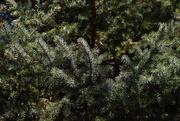 19th Mar 2020 - Evergreen