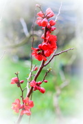 20th Mar 2020 - Spring  today  (flower Chaenomeles)