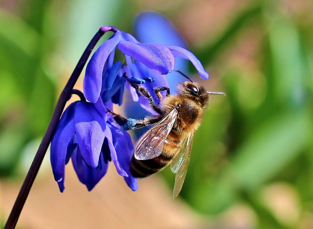 Bee and Blue Flowers by lynnz