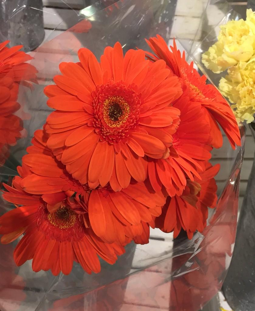 Orange gerbera daisies  by kchuk