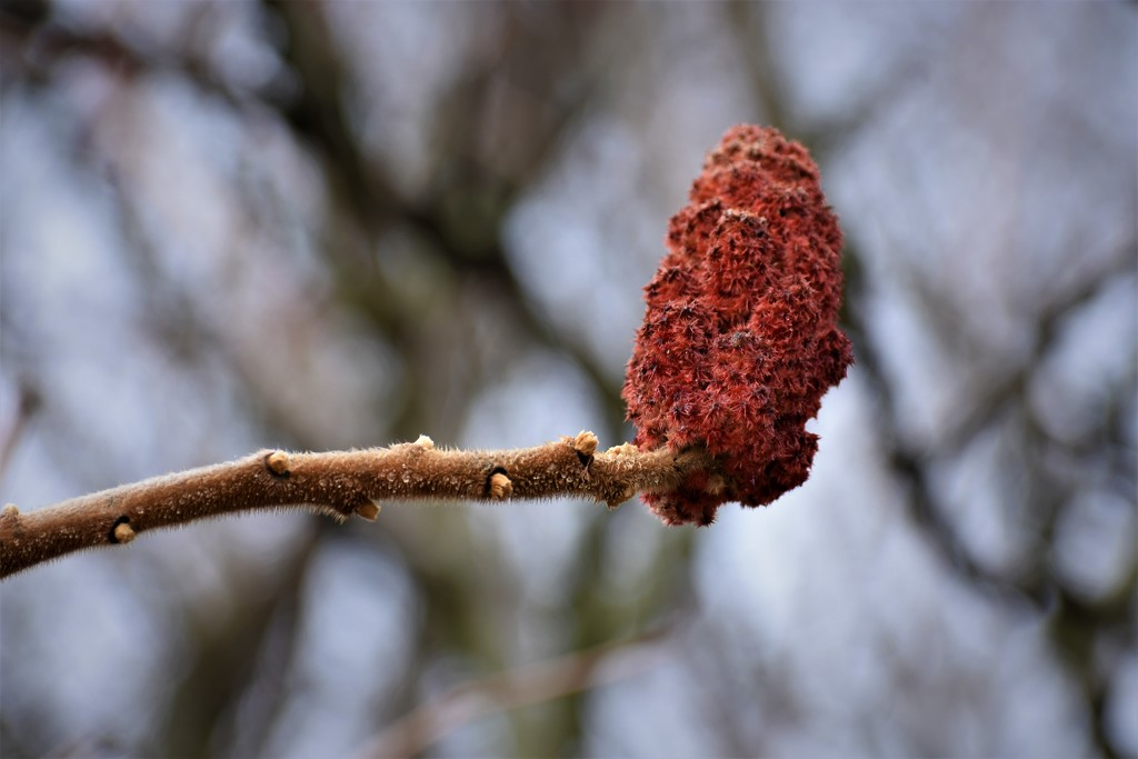 Sumac by brillomick