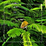 21st Mar 2020 - Perched high in the Poinciana Tree ~