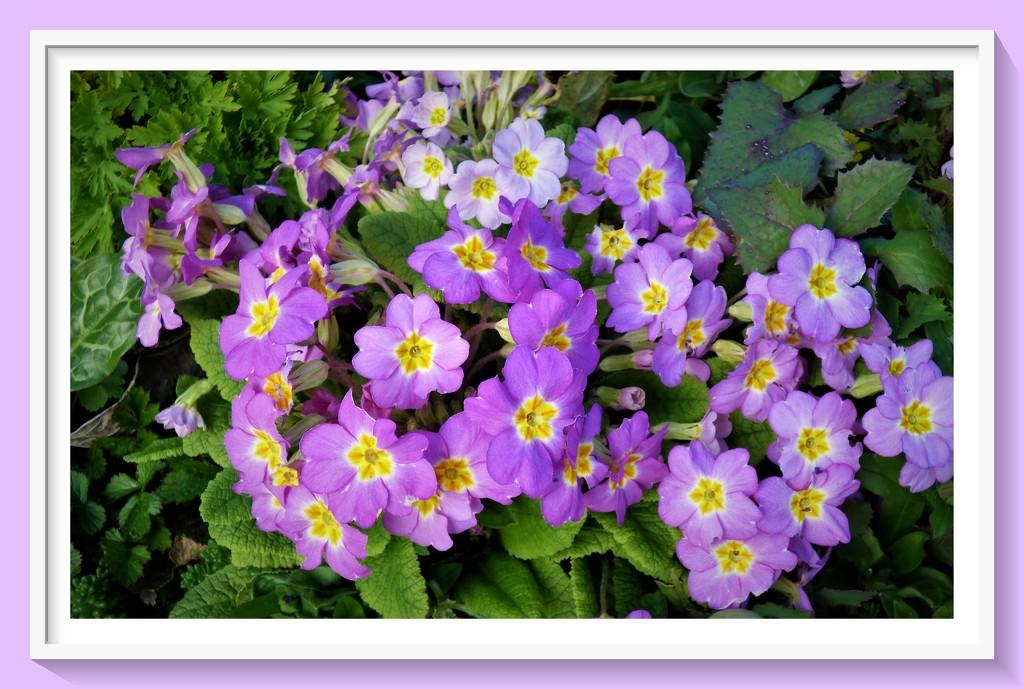 Primulas in purple by beryl