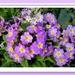 Primulas in purple