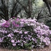 Azaleas at the state park near bone.  They have been so beautiful this year.