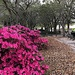 Azaleas are at Waterfront  Park in Charleston.