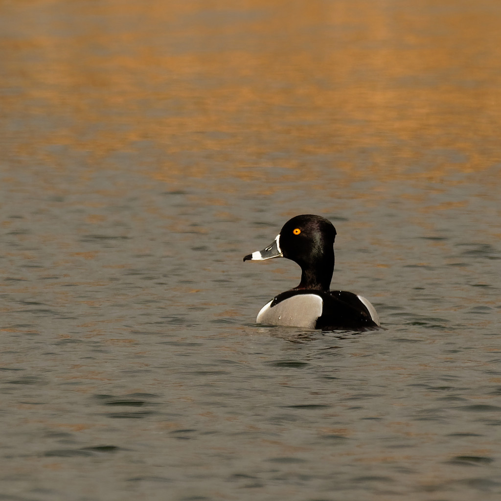 ring necked duck  by rminer