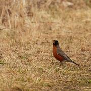 20th Mar 2020 - american robin trail