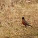 american robin trail