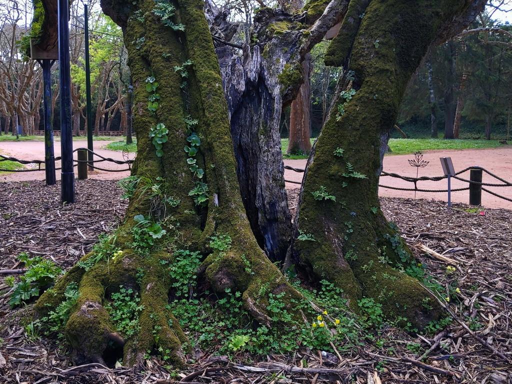Elderly Box Elder Tree 1 of 2 by fotoblah