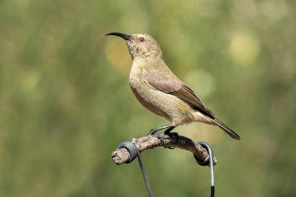 Female sunbird by ludwigsdiana