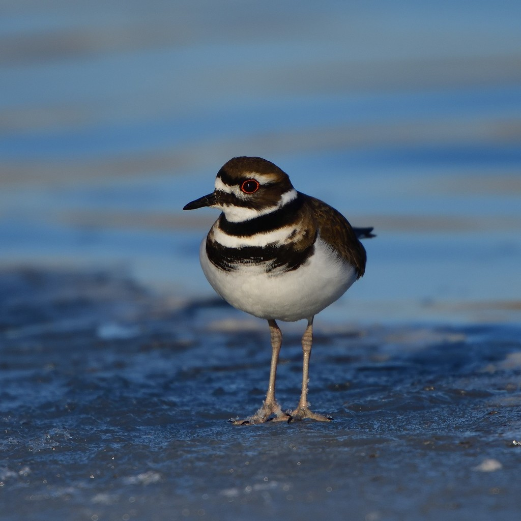 Killdeer on ice, Bow River by mjalkotzy