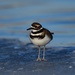 Killdeer on ice, Bow River