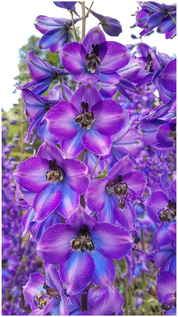 Purple is such a hard colour to find so an old pic taken at Levens Hall by lyndamcg