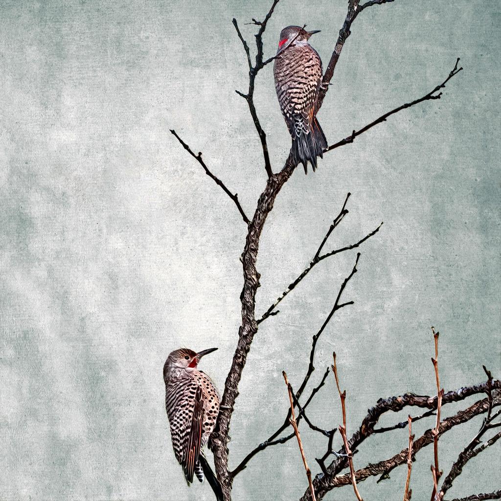 Northern Flicker Woodpecker by mikegifford