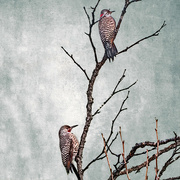 21st Mar 2020 - Northern Flicker Woodpecker