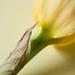 Daffodil by newbank