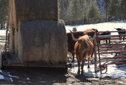 19th Mar 2020 - Longhorn Cattle