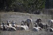 18th Mar 2020 - Bighorn Ram and His Harem :-)