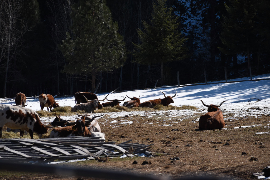 More Longhorns by bjywamer