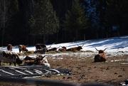 20th Mar 2020 - More Longhorns