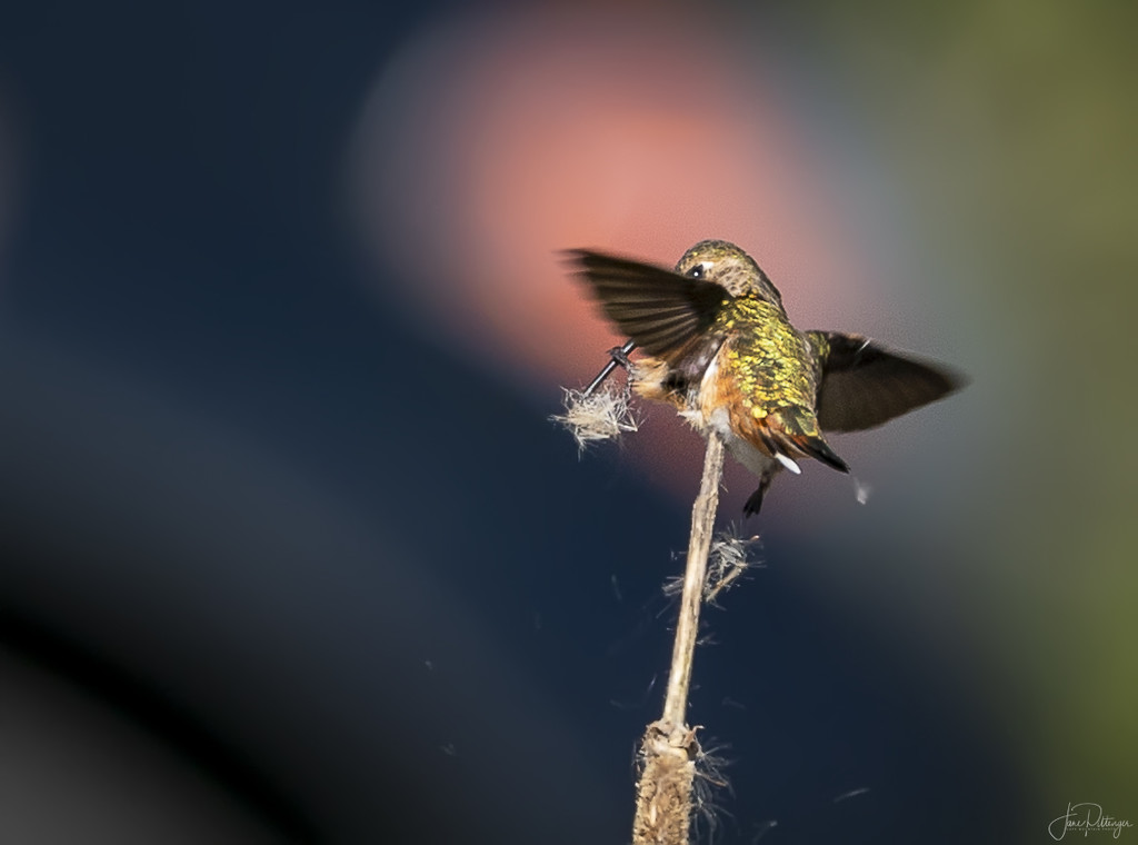 Hummer Trying to Adjust Her Load by jgpittenger