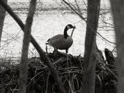 21st Mar 2020 - goose