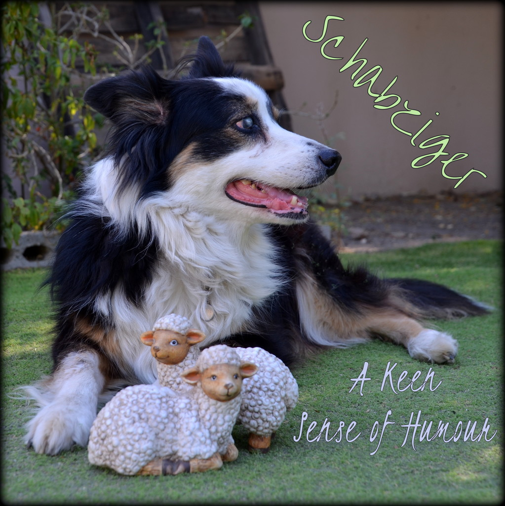 A Border Collie and her flock by salza