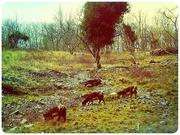 29th Feb 2020 - Three Goats A Grazing