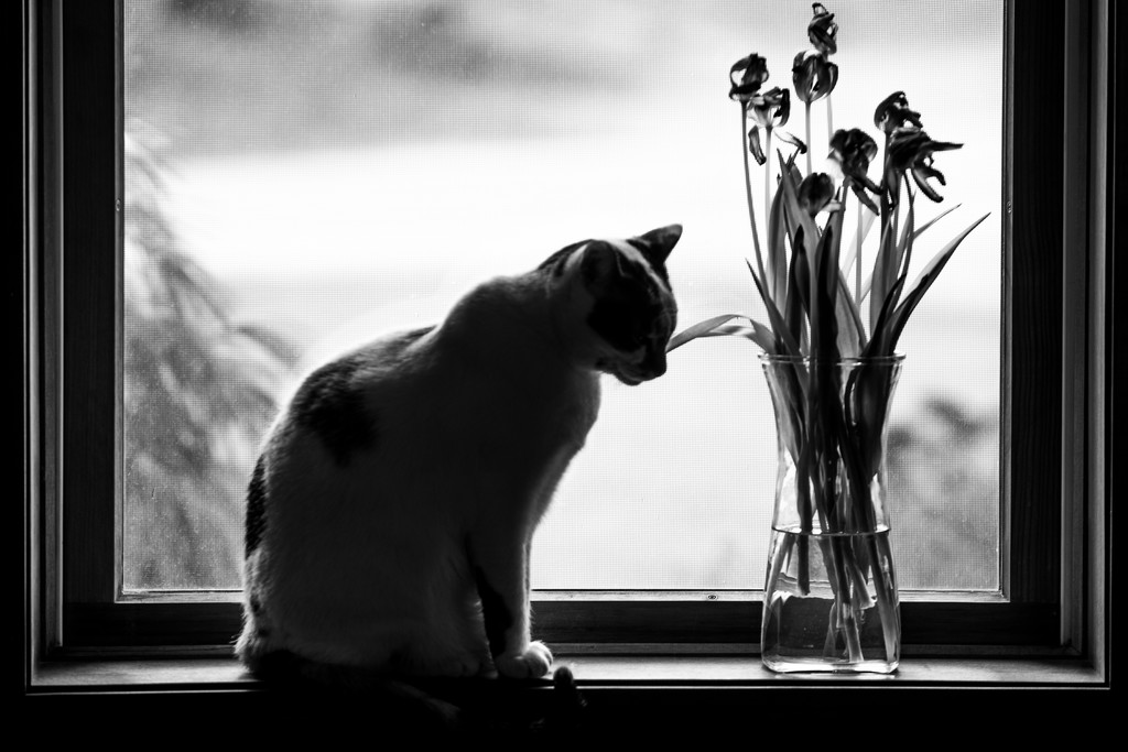 cat and dying tulips by jackies365