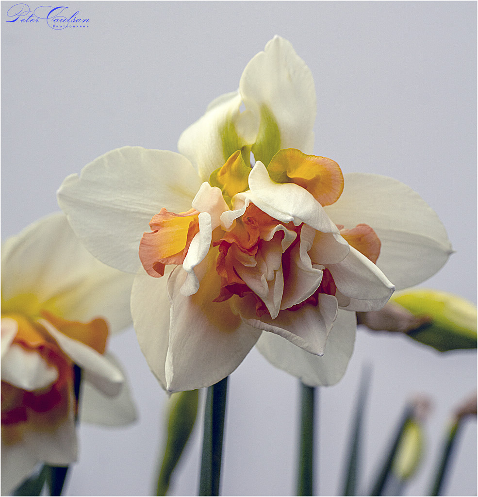 Narcissus Double Tahiti by pcoulson