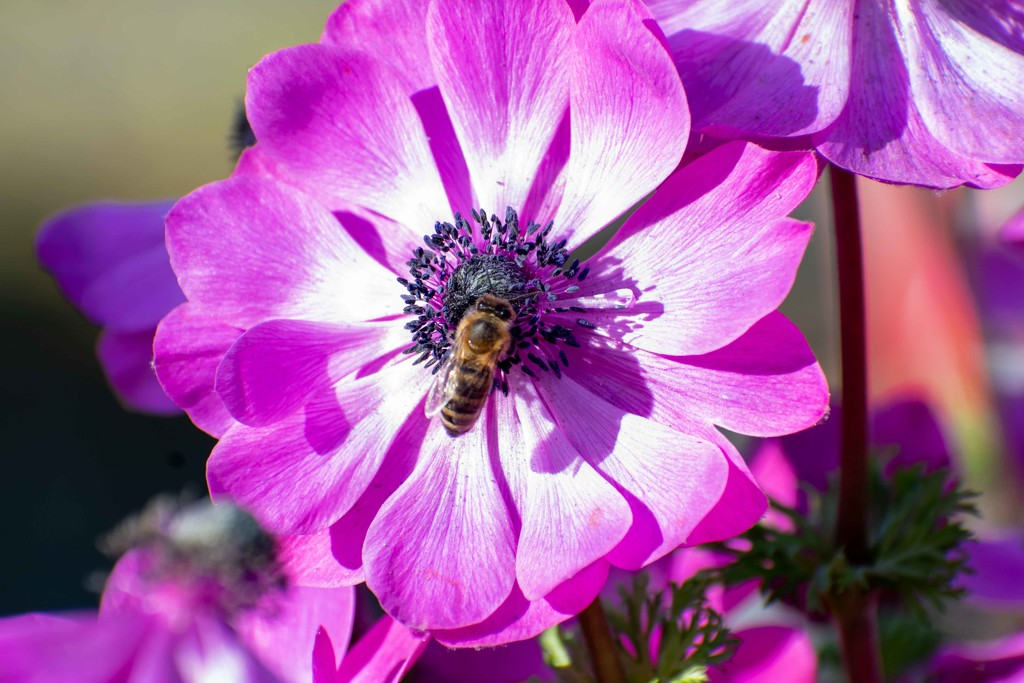 Bee On a Bloom-1 by theredcamera